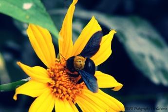 si kuning dan kumbang